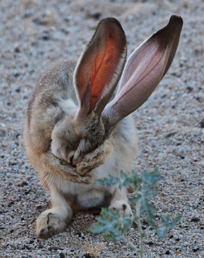 Lepus californicus (a few days ago)