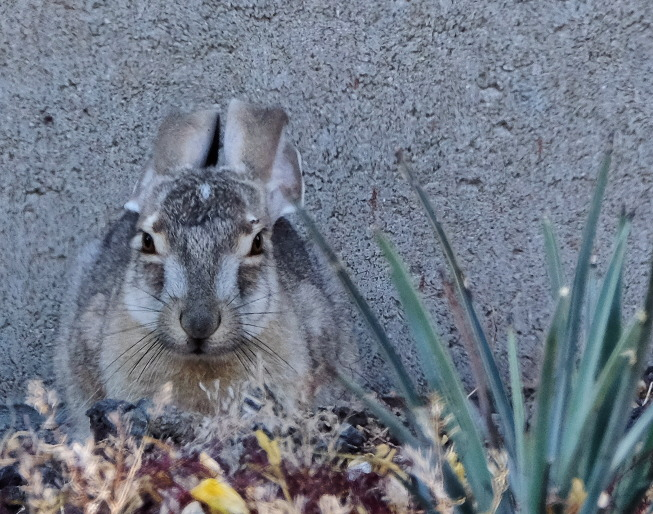Lepus californicus